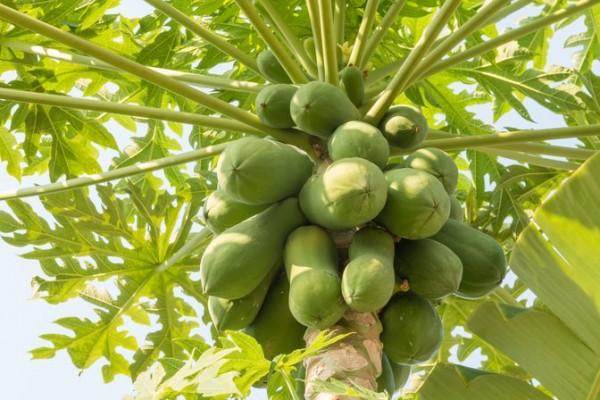¿De dónde viene la papaya?